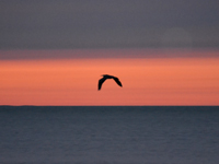 SNAPSHOT - Flying Blue Heron at sunset on Lake St. Clair