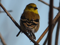 SNAPSHOT - Black Throated Green Warbler on Ganatchio Trail