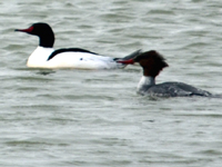 SNAPSHOT - Common Merganser on Lake St. Clair