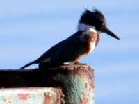 SNAPSHOT - Belted Kingfisher on our dock