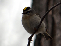 SNAPSHOT - Golden Crowned Kinglet in Stoney Point