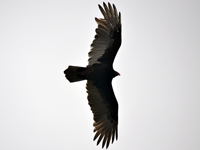 SNAPSHOT - A fall day with hundreds of vultures in Stoney Point